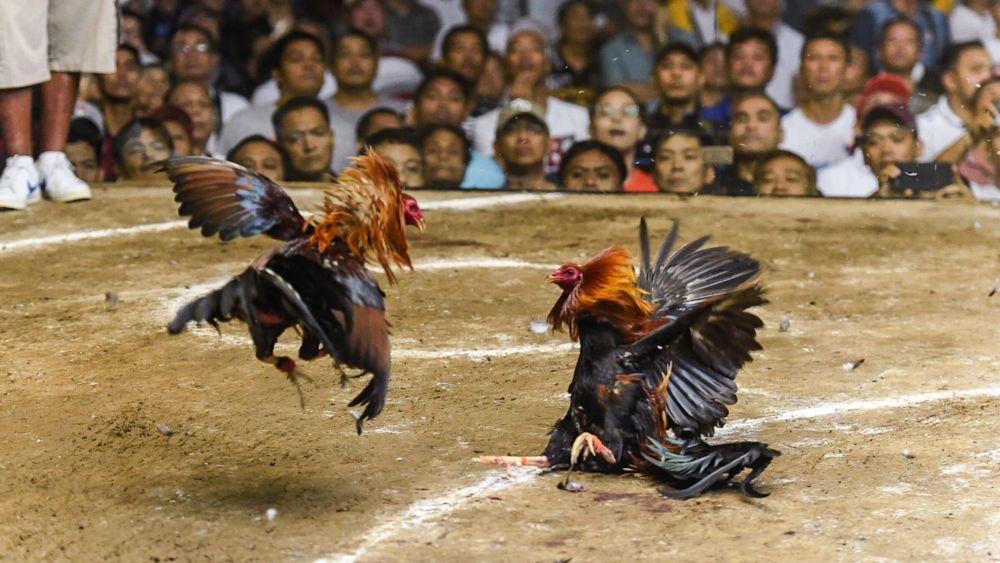 Pengertian Judi Sabung Ayam Secara Umum