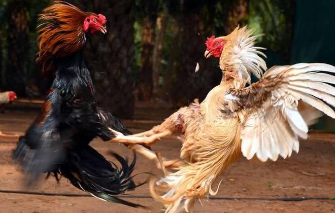 Filipina Legalkan Judi Sabung Ayam Online